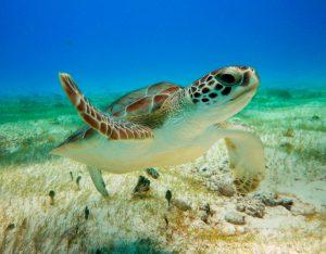 Turtle-Snorkeling-in-Akumal-021